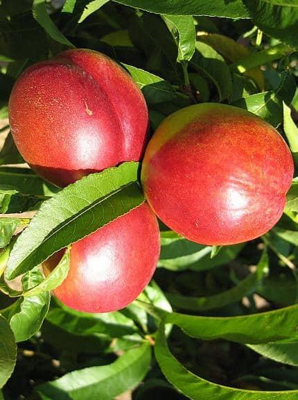 Яркие фрукты нектарина красного цвета на 90%