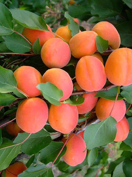 Orange with red side apricots on a branch, on a background of green leaves