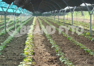 φυτα ακτινίδιων χωρίς δίχτυ